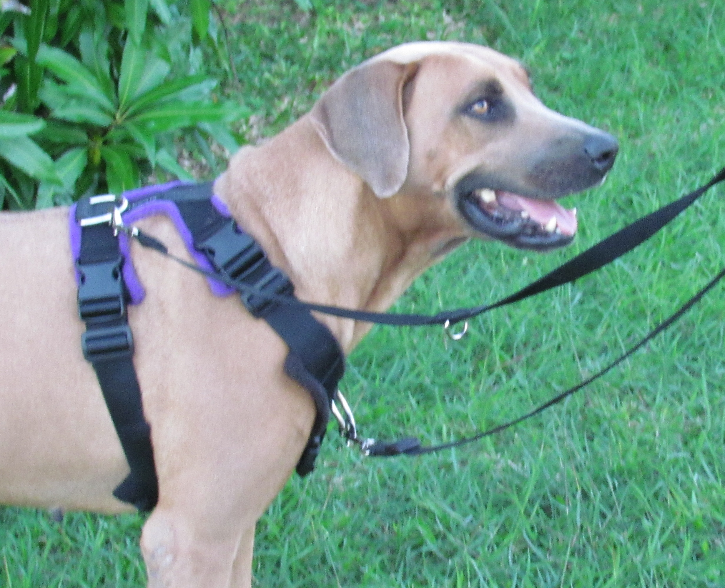 Review Of The Perfect Fit Harness The Modern Dog Trainer