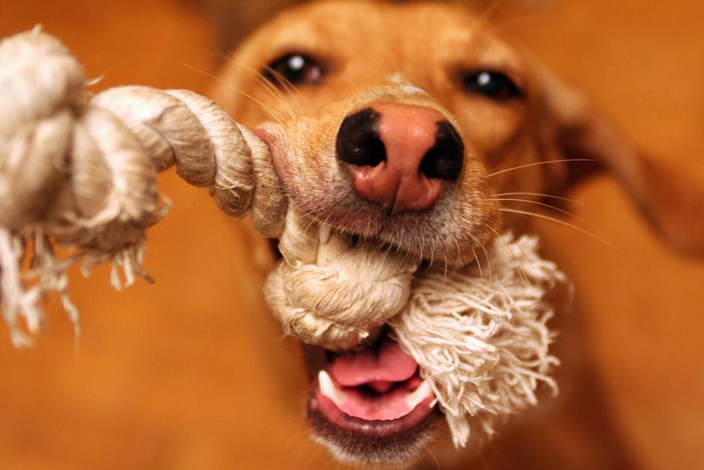 Using Tug O War In Dog Training